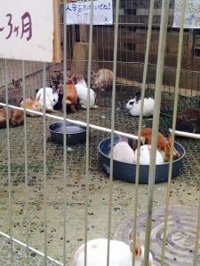 ウサギ多い