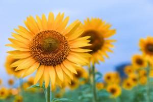 2015年8月12日〜16日 夏季休暇いただきます!