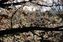山桜を見に行こう~♪